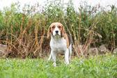 Beagle in garden — Stock Photo