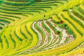 Righe del raccolto d'oro — Foto Stock