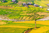 Wonderful view of mountainous landscape with ripen rice fields — Stock Photo