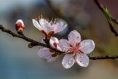Close-up of mountainous peach blossoms — Stock Photo