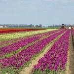 Tulip fields — Stock Photo #37811697