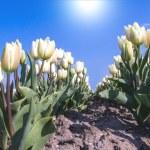 Tulip fields — Stock Photo #37811701