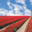 Tulip fields — Stock Photo