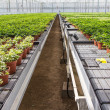 Stock Photo: Hederseedlings