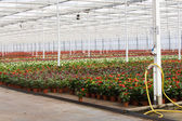 Anthurium nursery — Stock Photo