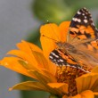 Painted lady butterfly of Cosmopolitan — Stock Photo #38974449