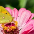 Stock Photo: Clouded yellow butterfly