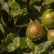 Stock Photo: Ripe pear hanging on a tree in the sun