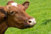Brązowe krowy jedzenia trawy — Zdjęcie stockowe