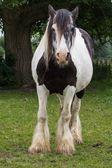 Gypsy horse — Stock Photo