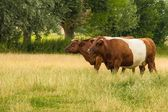 Brown white Lakenvelder cow grazing in the sun — Foto Stock