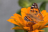 Painted lady butterfly of Cosmopolitan — Stock Photo