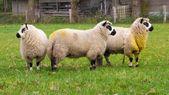 Kerry sheep — Stock Photo