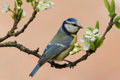 Tomtit in a blooming tree — Stock Photo
