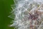 Dandelion blooming and seeds — Stock Photo