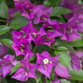 Pink blooming bougainvillea — Stock Photo