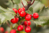 Christmas holly — Stock Photo