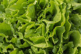 Different kinds of fresh lettuce — Stock Photo