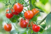 Ripe hanging cherry tomato — Stock Photo