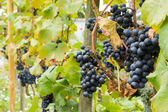 Ripe blue grapes in de vinyard — Stock Photo