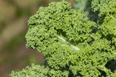 Macro of fresh kale — Foto Stock