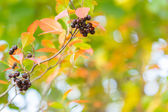 Colorful autumn background with black berries — Stock Photo
