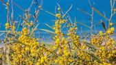 Blooming acacia in front of blue sky — Stock Photo