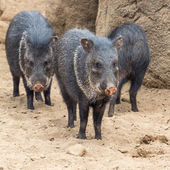 Peccary in the desert — Stock Photo