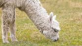 Alpaca's — Stock Photo