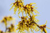 Blossom of a wild witch hazel — Stock Photo