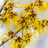 Blossom of a wild witch hazel — Stock Photo