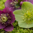 Blooming helleborus flowers — Stock Photo #41640125