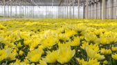 Colorful chrysanthemums in a Dutch greenhouse — Stock Photo
