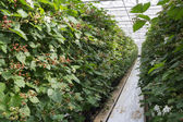 Blackberry in a greenhouse — Foto de Stock