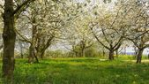Blooming fruit orchard in spring — ストック写真
