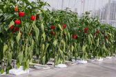 Growing peppers in a greenhouse — Stock Photo
