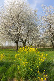 Blooming fruit orchard in spring — Stock Photo