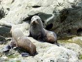 Seal in Kaikoura — Stock Photo