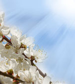 Branches of cherry blossoms — Stock Photo