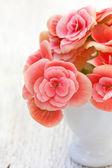 Flores de begonia rosa — Foto de Stock