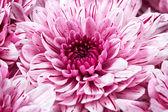 Chrysanthèmes roses — Photo
