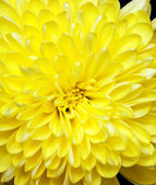 Chrysanthème — Photo