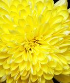 Crisantemo — Foto Stock