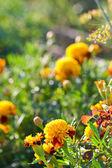 Marigolds — Stock fotografie