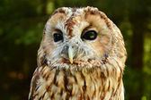 Surprising looking beautiful owl — Stock Photo