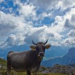 Stock Photo: Cow on the grazing land of Val Badia