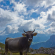 Cow on the grazing land of Val Badia — Stock Photo