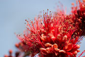 Isolated blooming red flowers  — Stock Photo