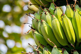 Bananas in the sunlight with a bogeh background — Stock Photo