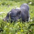 Black piggy — Stockfoto #38216019